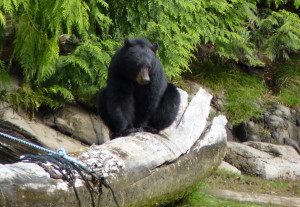 black bear sitting on log 2-001